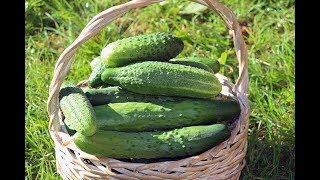 Основные ошибки в уходе за овощными культурами