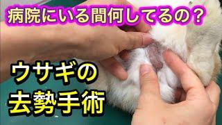 【ウサギの去勢】交尾が1分?手術のメリットとデメリット、病院での様子を紹介