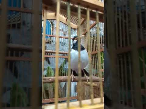Burung jalak suren muda ajaib c gabred kaya ayam