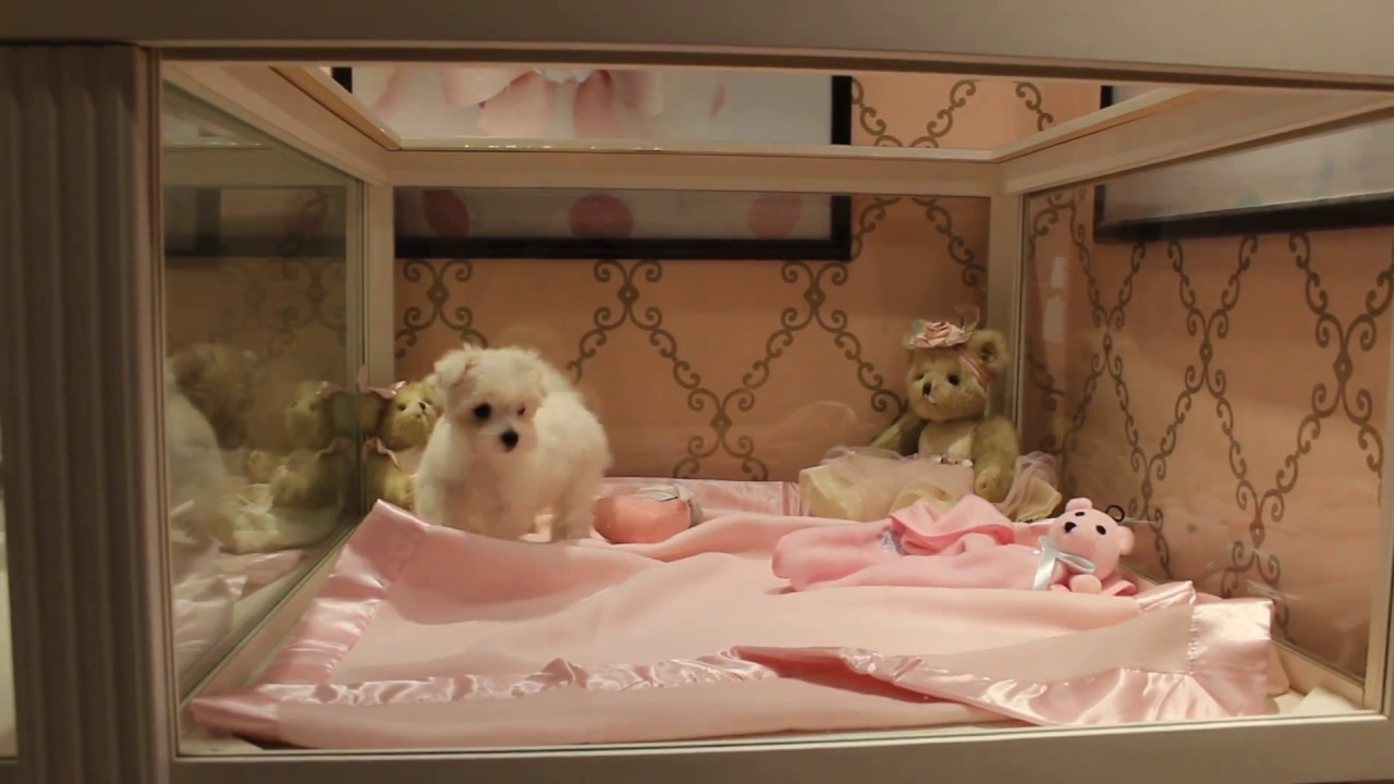 Teacup Maltese Puppies - We Finance & Ship! Teacups / Toys Available