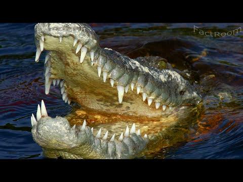 Видео как крокодил съел человека