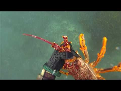 Freediving for Victorian Crayfish