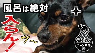【わんちゃん動画】愛犬ゴン太はお風呂が大嫌い。 お風呂へ誘うと「ヴー...