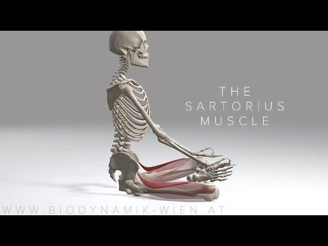 Sartorius Muscle 4K Animation