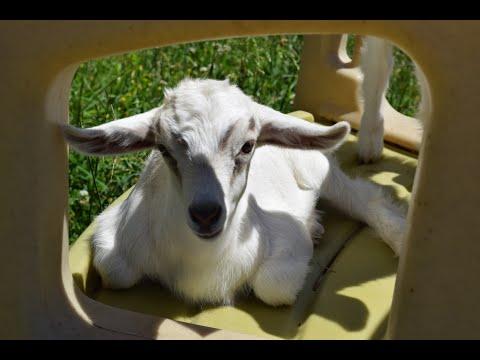 Goat Pyramid 1