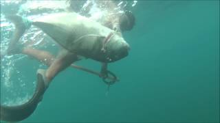 big island hilo spearfishing kaulanas first ulua