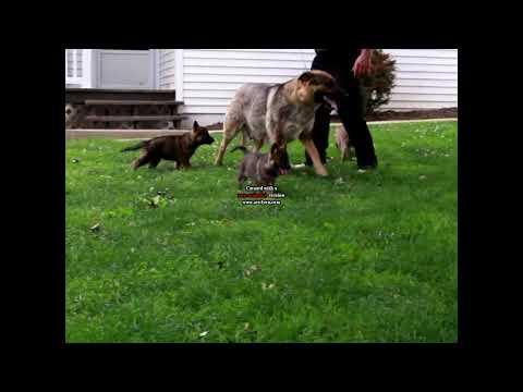 German Shepherd Puppies For Sale David Glick