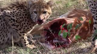 マサイマラでチーターの親子がインパラを捕食しました。 母親がインパラ...