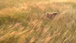 Собака загрызла мифическое животное чупакабру в Волгоградской области - видео