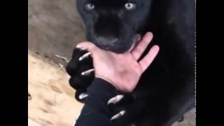 black panther teething man~s hand