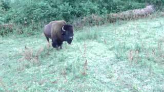 rassemblement et déplacement d'un troupeau de bisons à 2 cowboys