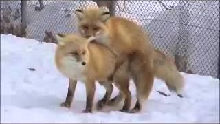 Лисицы трахаются очень прикольно