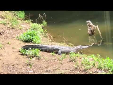 Alligator at Woodland Park 1 of 2