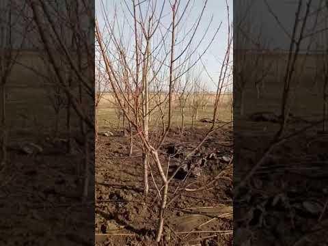 Наши многосортовые деревья.