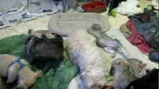 Birdie's Puppies 7 Wks Old