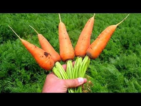 МОРКОВЬ ПОЛЬЗА И ВРЕД | морковь польза для мужчин, женщин