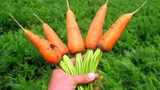 МОРКОВЬ ПОЛЬЗА И ВРЕД   морковь польза для мужчин, женщин