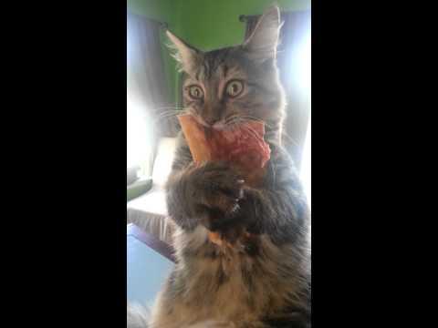 Crazy pizza stealing kitten