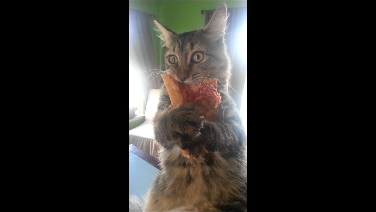 crazy pizza stealing kitten youtube