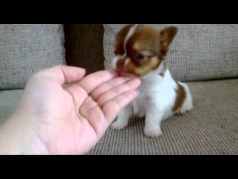 'Jayden' Tiny Cute Long Coat Chihuahua Puppy 2013