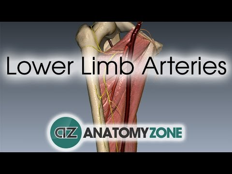 Lower Limb Arteries Overview - 3D Anatomy Tutorial
