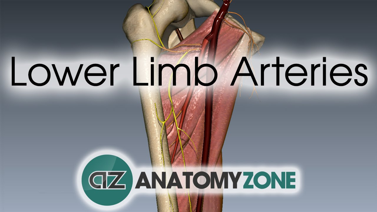 Lower Limb Arteries Overview 3d Anatomy Tutorial Youtube