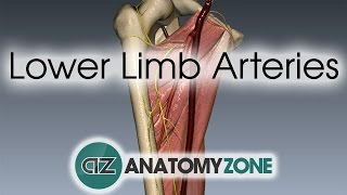 Lower Limb Arteries Overview - 3D Anatomy Tutorial thumbnail