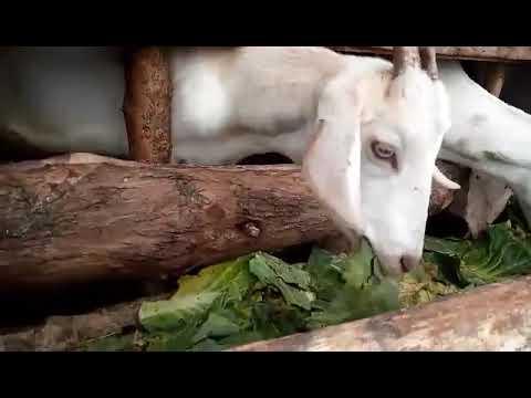 Goats Eating Cabbage in Siaya Kenya