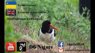 Кулик-сорока (Укр.), Eurasian oystercatcher (Eng.), Haematopus ostralegus (лат.),