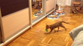 Бенгальские котята - игры неудержимых 🐾😄