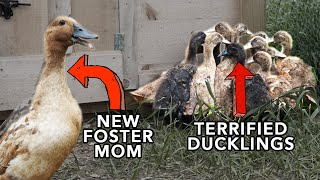 A Foster Mom for Frightened Ducklings