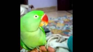 Pakistani parrot talking in Urdu