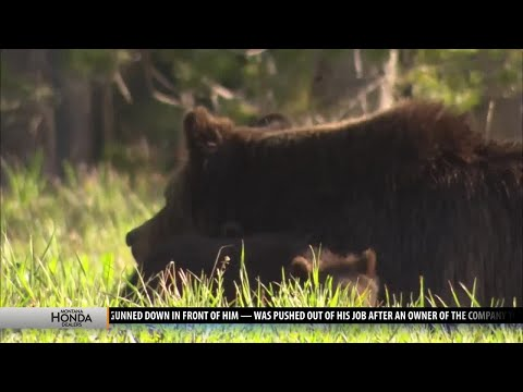 Grizzly bear growth brings positives and challenges to the Greater Yellowstone Ecosystem