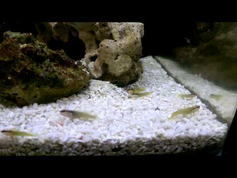 Green Banded Gobies