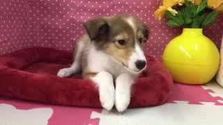 ペットショップCOO&RIKU №351790 犬種:シェットラントシープドック Video