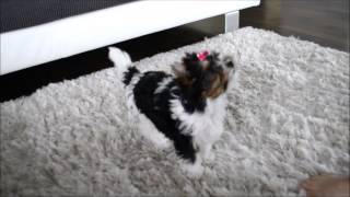 Amazonas Absolute Joy By Eurobiewers Kennel - Biewer Yorkshire Terrier