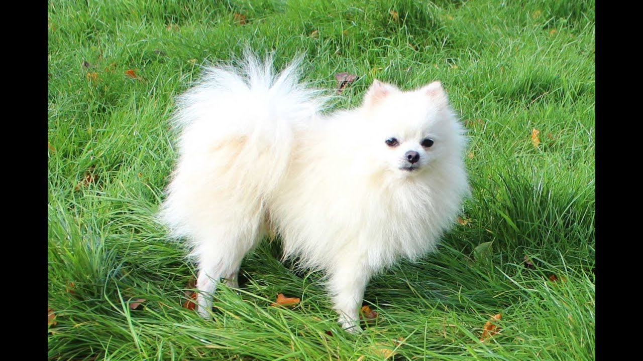 White Pomeranian DOG - YouTube