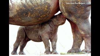 Diergaarde Blijdorp - black rhino so sweet (4 weeks old)