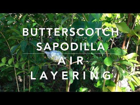 Butterscotch Sapodilla Air Layering