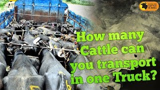 How many Cattle can you transport in one Truck ???