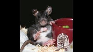 Окрасы декоративных крыс