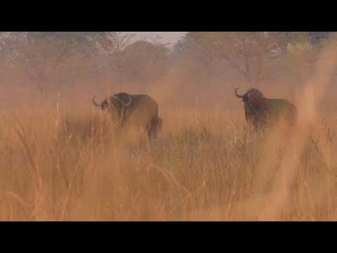 African Buffalo Hunted by a Legend in the Caprivi
