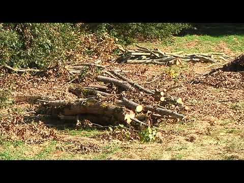 Amigos da Terra denuncia a tala de árbores centenarias na OU 536 16-10-2018