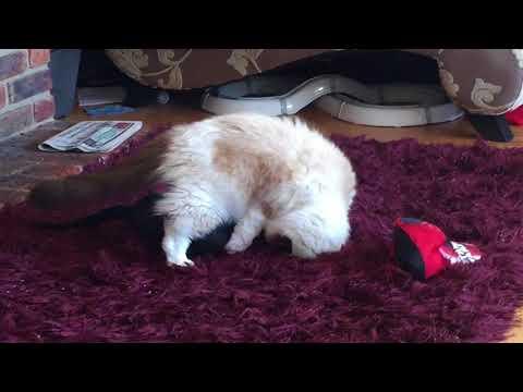Funny cat playfight ragdoll vs. oriental