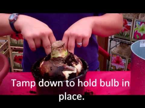 Planting an Amaryllis Bulb