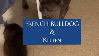 FRENCH BULLDOG and a KITTEN