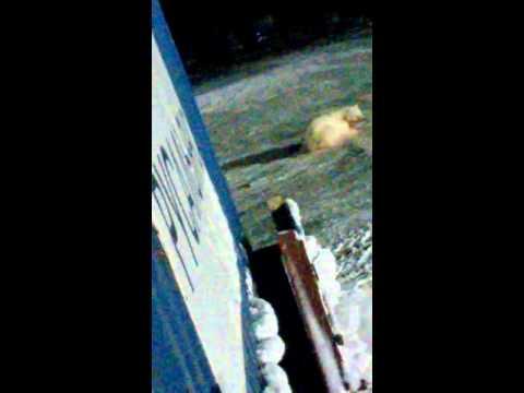 Повар взорвал белую медведицу на острове Врангеля