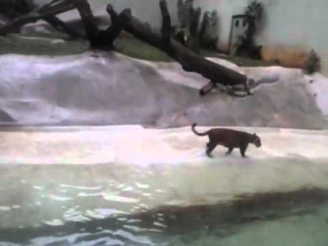 Jaguar Kills Heron at Sao Paulo Zoo in Brasil