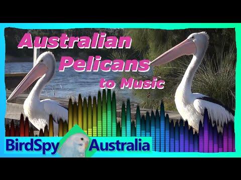 Australian Pelicans to Music | BirdSpyAus