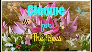 Cleome ~The 4th Sister